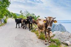 Mucche sulla strada della montagna Immagine Stock