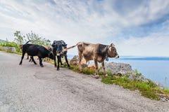 Mucche sulla strada della montagna Fotografia Stock