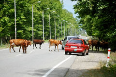 Mucche sulla strada in Georgia Fotografia Stock Libera da Diritti