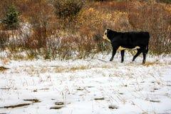 Mucche sulla strada nella caduta tarda, paese di Kananaskis, Alberta, Canada Immagini Stock Libere da Diritti