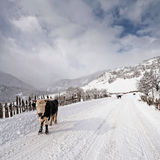 Mucche sulla strada nevosa Immagine Stock