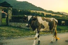 Mucche sulla strada sul tramonto Fotografie Stock Libere da Diritti