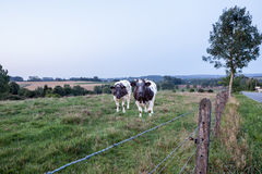 Mucche sulla terra Fotografia Stock Libera da Diritti
