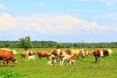 Mucche sulla terra dell'azienda agricola Fotografia Stock