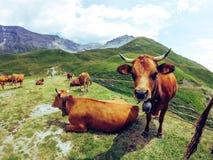 Mucche sulle alpi, Mont Cenis Fotografie Stock Libere da Diritti