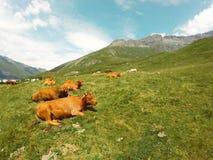 Mucche sulle alpi, Mont Cenis Fotografia Stock