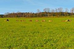 Mucche svizzere Fotografia Stock