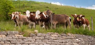 Mucche svizzere nelle alpi Immagini Stock