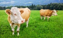 Mucche svizzere sul pascolo in alpi Fotografia Stock Libera da Diritti