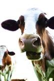 Mucche svizzere sul suo foraggio Fotografia Stock