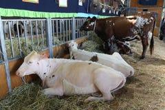 Mucche - Sydney Royal Easter Show Immagini Stock Libere da Diritti