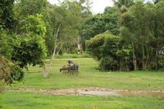 Mucche tailandesi Immagini Stock