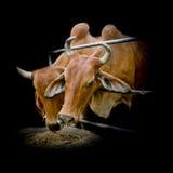 Mucche tailandesi che alimentano fieno nell'azienda agricola Fotografia Stock