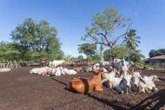 Mucche tailandesi che riposano in un campo a del sud, Tailandia immagini stock