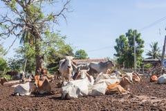 Mucche tailandesi che riposano in un campo a del sud, Tailandia immagine stock