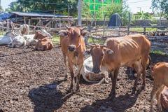 Mucche tailandesi che riposano in un campo a del sud, Tailandia fotografia stock libera da diritti
