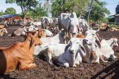 Mucche tailandesi che riposano in un campo a del sud, Tailandia fotografia stock