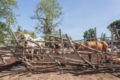 Mucche tailandesi che riposano in un campo a del sud, Tailandia fotografie stock