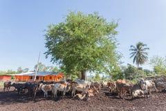 Mucche tailandesi che riposano in un campo sotto l'albero a del sud, Tailandia fotografie stock