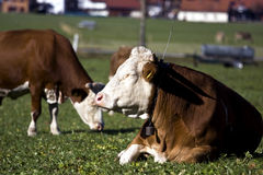 Mucche tedesche felici su erba verde Immagini Stock