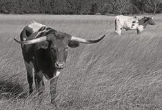 Mucche texane Fotografia Stock Libera da Diritti