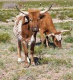 Mucche texane del Texas Fotografia Stock