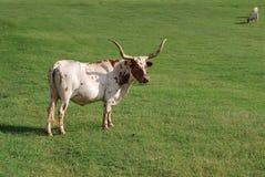 Mucche texane dell'Oklahoma Immagini Stock Libere da Diritti