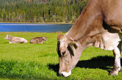 Mucche in Tirol Fotografie Stock