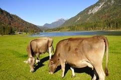 Mucche in Tirol Fotografia Stock