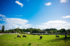 Mucche in un'azienda agricola Fotografia Stock Libera da Diritti