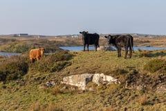 Mucche in un'azienda agricola con vegetazione e rocce intorno alla baia di Clifden fotografia stock libera da diritti
