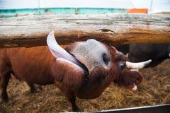 Mucche in un'azienda agricola Mucche da latte immagini stock libere da diritti