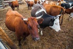 Mucche in un'azienda agricola Mucche da latte fotografia stock libera da diritti