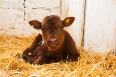 Mucche in un'azienda agricola Mucche da latte fotografie stock libere da diritti