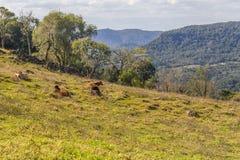 Mucche in un'azienda agricola in Gramado fotografia stock