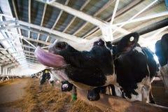 Mucche in un'azienda agricola Mucche da latte Fotografie Stock