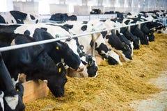 Mucche in un'azienda agricola Mucche da latte Immagini Stock