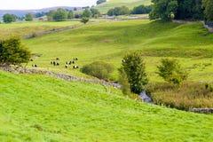 Mucche in un campo Fotografie Stock Libere da Diritti