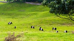 Mucche in un campo Fotografia Stock Libera da Diritti