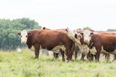 Mucche in un campo Immagine Stock
