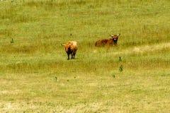 Mucche in un campo immagine stock libera da diritti