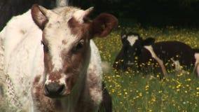 Mucche in un campo dei fiori video d archivio