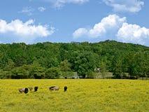 Mucche in un campo dei Wildflowers Fotografia Stock Libera da Diritti