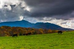 Mucche in un campo dell'azienda agricola ed in una vista della montagna di prima generazione immagine stock