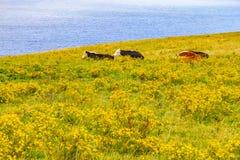Mucche in un campo dell'azienda agricola sopra le scogliere di Moher immagini stock libere da diritti