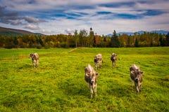 Mucche in un campo dell'azienda agricola vicino a Jefferson, New Hampshire Fotografie Stock