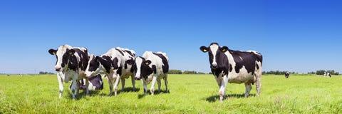 Mucche in un campo erboso fresco un chiaro giorno immagine stock