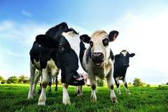 Mucche in un campo verde - Normandia Fotografia Stock Libera da Diritti