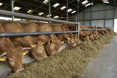 Mucche in un granaio Fotografie Stock
