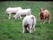 Mucche, un gregge delle mucche in un campo di estate fotografia stock